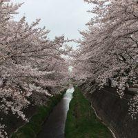 ぶらり散歩⑦ 2017‐満開の桜(三沢川・よみうりランド-曇り編)